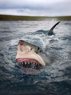 great white shark - photo Sam Cahir