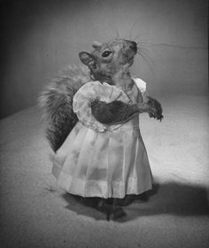 Early 1940's - Tommy Tucker: A Squirrel's Guide to Fashion | Photos - LIFE:  Tommy is a live baby squirrel, abandoned at birth by it's biological mother, and raised by his adopted one, Mrs. Mark Bullis. The article goes on to state that Tommy does not seem to mind dressing up.  Indeed, he looks quite fat and happy!
