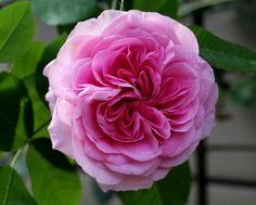 Rosa 'Gertrude Jekyll.' Named after the famous English Gardener.