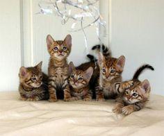 Toyger kittens.