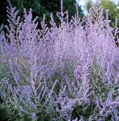 You can not kill Russian sage. That's why we all Love it out west!