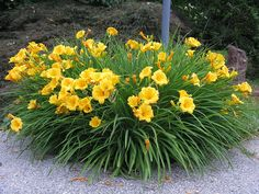 stella de oro daylily   Recent Photos The Commons Getty Collection Galleries World Map App ...
