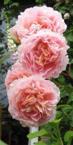 "Rose ""Abraham Darby"""