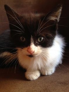 Dumped and left to fend for themselves, this is one of four kittens who miraculously survived a dog attack (a fifth kitten didn't make it). Now in the safe hands of Woodland Nook Cat Rescue in #Derbyshire #catrescue