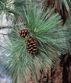 Pine Needle Secrets Revealed... did you know it can be used for so much?