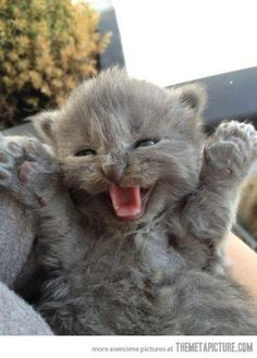 A little lion in himself. He's so cute ! But I don't know if he can roar like a lion... This kitty is too small !