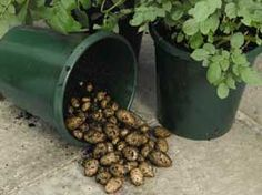 Growing potatoes in buckets...should be easy to harvest the spuds!
