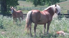 Golden Dowager (Haflinger mare) - $1000 (Cynthiana KY)
