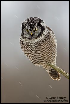 Northern Hawk Owl (Surnia ulula). Photo by Glenn Bartley.