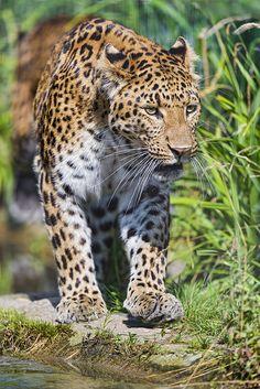 Leopard walking near the water
