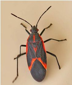 How to get rid of Box Elder Bugs - is that even possible??