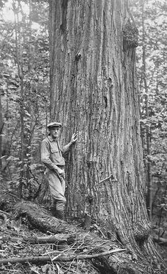 7-foot Chestnut tree on Laurel Fork, Cheat River, Monongahela National Forest, West Virginia.  Date: 1924