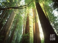 Redwood Forest Photographic Print by Jim Zuckerman at Art.com