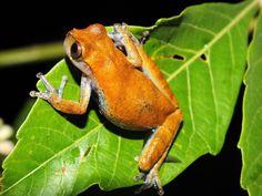 Noe Huaraca - Dendropsophus koechlini