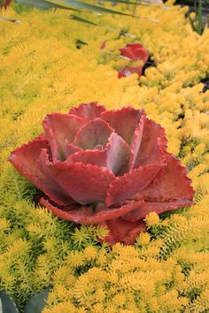 What a combination! That is an Echeveria Arlie Wright on a swell of Sedum rupestre Angelina. Unthirsty and self-sufficient, this combination could not be more vivid.