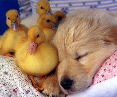 animals, puppies, easter, friends, dogs, golden retrievers, baby ducks, animal babies, sweet dreams