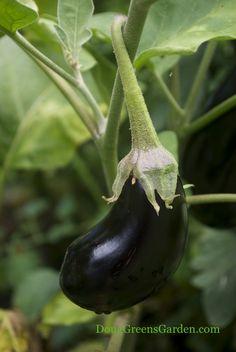 grow eggplant, babi eggplant, veget garden, edibl garden