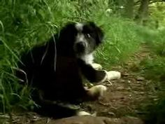border collies, puppi play, dogs, dog wisdom, aussi, bordercolli, dog puppi, movi trailer, movie trailers