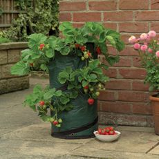 Want to try growing strawberries.