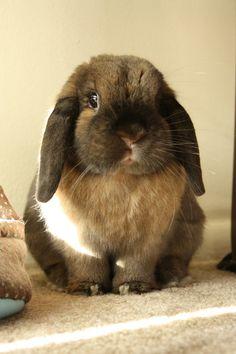 Lop Bunny Is So, So Round