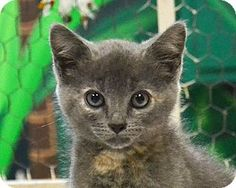 Bella is a 2 month old female DSH mix in Searcy, AR. She is a sweet little girl that loves to cuddle and play with her toys. Bella is looking for a forever home to call her own. Contact The Humane Society of Searcy @ 501-268-3535 or hss@cablelynx.com.