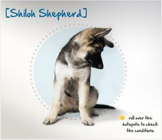 Did you know the Shiloh Shepherd was developed in the 1970s to resemble an older variety of the German Shepherd? Read more about this breed by visiting Petplan pet insurance's Condition Checker!