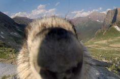 So stinking adorable. Photo bombing marmot. Save his homeland!