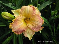 """This cross is from Inca Puzzle x one of my own seedlings. The bloom is at least 6.5"""" if not 7"""" big."""