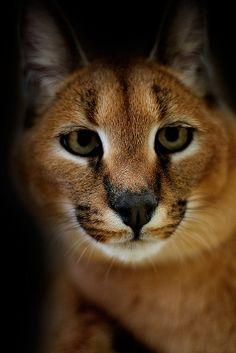Young Caracal by Skyler Hughes
