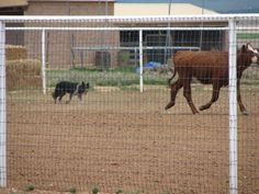Who says Border Collies can't herd cows?  Lacy's Cat Ballou is one of my Border Collies and all herd cattle. #BorderCollie #LasCruces #ElPaso #NewMexico #herding laci cat, border colli, cat ballou, bordercolli lascruc, herd cattl