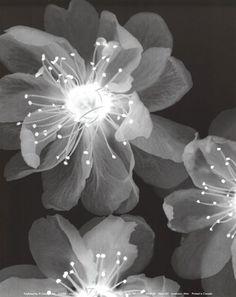 xray flower art