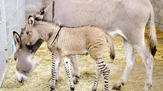 male baby zenkey, hybrid between a donkey mother and zebra father, snuggled up to his mother at the Nasu Safari Park, near Tokyo.