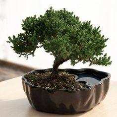 Bonsai glazed clay earth/water pot
