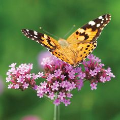 Top Plants for Your Butterfly Garden