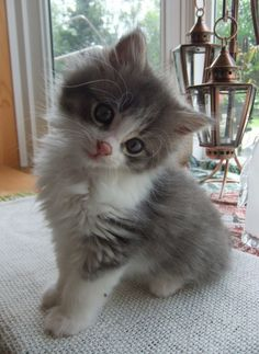 Little Miss Scrappy Kitten head tilt.