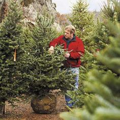 How to Pick the Perfect Christmas Tree. #indigo #MagicalHoliday