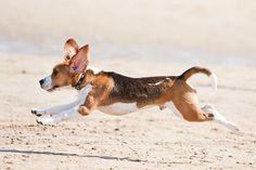 running Beagle!