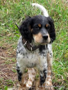 llewellin setter - want this little guy