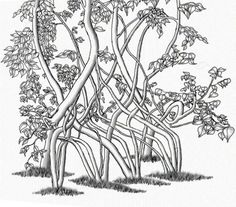 A representation drawing of Richard Reames's living bench chair. This is a group of trees bent into a bench using an Instant method aka Arborsculpture method of shaping trees as described in Richard Reames's books How to grow a chair and Arborsculpture