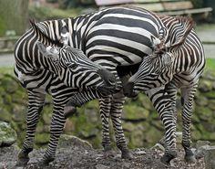 flickr, zebra emmen, emmen img0872, thing zebra, zebras