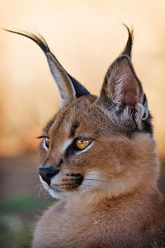 The caracal /ˈkærəkæl/ (Caracal caracal), also known as the desert lynx, is a wild cat that is widely distributed across Africa, central Asia and southwest Asia into India. In 2002 the IUCN listed the caracal as Least Concern as it is widespread and relatively common. The felid is considered threatened in north Africa, and rare in the central Asian republics and India.[2]