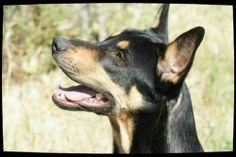 140671 BLACK Croisé berger. Mâle de 15 mois. Né le 08.01.2013 Black a été abandonné le 21.12.2013. OK chiens. SPA Marseille Provence(Bouches-du-Rhône) 0820 820 896