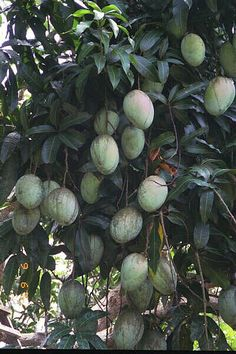 Jamaican fruits - mango