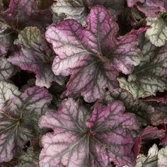 """New for 2014! DOLCE® 'BLACKBERRY ICE' (Heuchera hybrid): Royal purple leaves with a luminescent pewter overlay and black veining Blackberry Ice carries cream flowers in midsummer.  Full, rounded clump of foliage stays nice all season.  Naturally heat and humidity tolerant.  Perennial in zones 4-9.  Foliage height: 10-12""""; flower height: 20-26"""".  Part sun to shade. http://emfl.us/cOGd"""