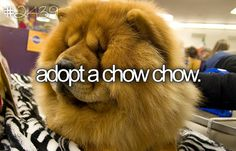 chow puppi, cutest dogs, dietumlbr photo, anim bucket, chow chow