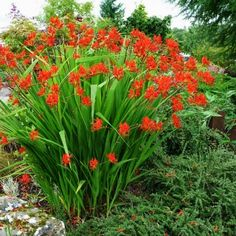One of the most popular variety of Crocosmia, Lucifer will produce beautiful bright red flowers that will keep on blooming from mid-summer well into the fall!  Crocosmia is technically not a bulb but a corm. Attractive to hummingbirds and virtually pest and disease-free, the Crocosmias are a beautiful and easy addition to any garden. They are also the ideal flowers for any floral arrangement as they will last forever in a vase.