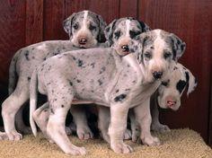 Merle Great Dane pups