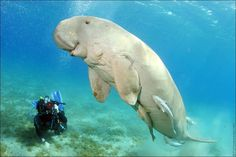 Dennis the Friendly Dugong