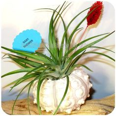 Sea Urchin Air Plant Gift  Tillandsia Airplant by AGiftofNature, $10.00