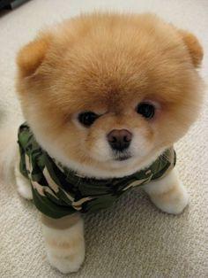 Pomsky Full-Grown | Pomsky Full Grown Size Pomsky dogs full grown.